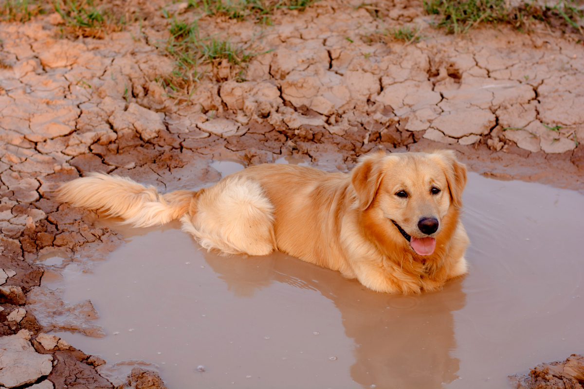 Golden Retriever metido en un charco